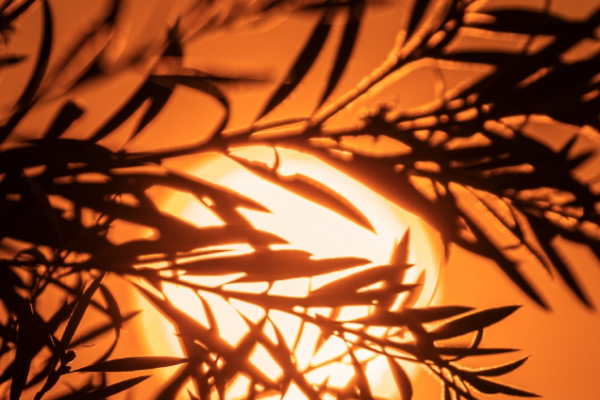 Silhouette of a native plant lit by a bright orange setting sun