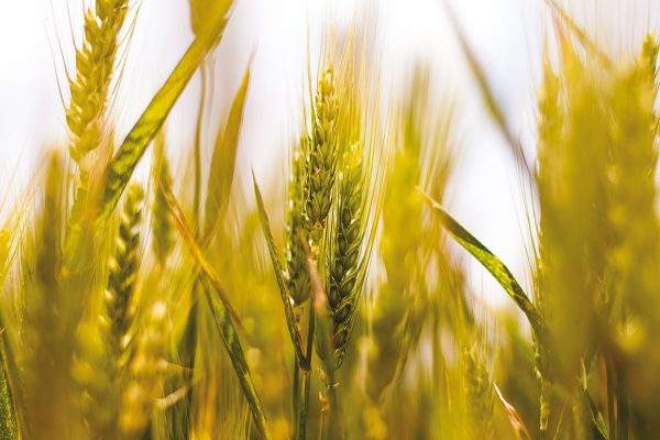 Wheat field via pexels